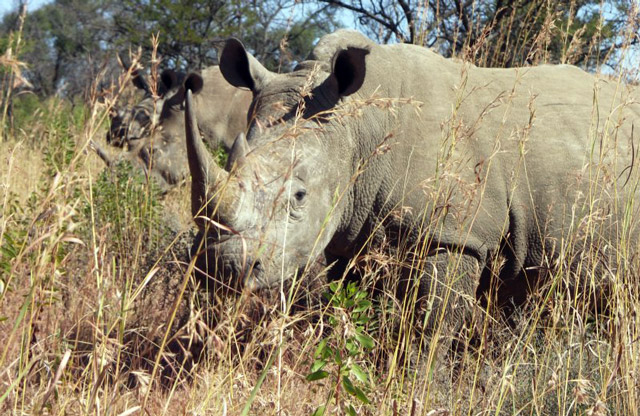 Threatened by poachers